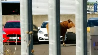 Photo of A Cow In A Mazda Shop